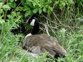 Nesting canada goose a canadian sits upon a nest in the underbrush at a city park Royalty Free Stock Images
