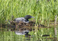 Nesting common loon Royalty Free Stock Photo