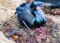 Nesting Cormorant in La Jolla, California Royalty Free Stock Photo