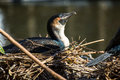 Nesting cormorant a takes in the afternoon sun Royalty Free Stock Photos