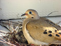Nesting Dove Stock Photography