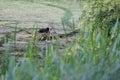 Nesting eurasian coot Royalty Free Stock Photo