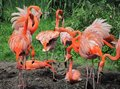 Nesting flamingoes red on their nests Stock Photo