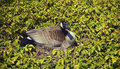 Nesting goose hissing a mother hisses and sticks tongue out at people passing by as she sits amidst ground covering Stock Image