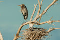 Nesting Great Blue Herons Stock Images