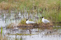 Nesting gulls Royalty Free Stock Photo