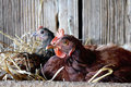 Nesting Hens Royalty Free Stock Photo