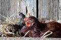 Nesting Hens