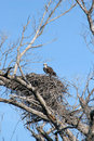 Nesting osprey Stock Photography