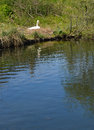 Nesting Pen swan beside the riverbank. Royalty Free Stock Photo