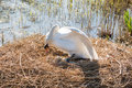 Nesting swan Royalty Free Stock Photo