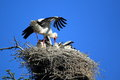 Nesting white stork the adult caring abount her chicks Stock Photos