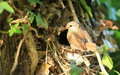 Nesting wren. Royalty Free Stock Photo