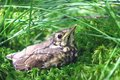 Nestling fledgling sitting in the swamp grass Stock Images