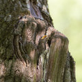 Nestling in a hollow starling sits tree Stock Image