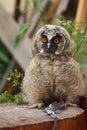 Nestling Long-eared Owl Royalty Free Stock Photo