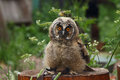Nestling Long-eared Owl Royalty Free Stock Photo