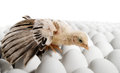 Nestling one on many hen s eggs on white background Royalty Free Stock Images