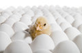 Nestling one yellow chicken on many hen s eggs horizontal photo Stock Images
