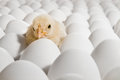 Nestling one yellow chicken on many hen s eggs horizontal photo Stock Image