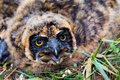 Nestling of short-eared owl Royalty Free Stock Photo