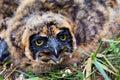 Nestling of short-eared owl Royalty Free Stock Photo
