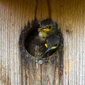 Nestling starlings eager to be first in uppland sweden Royalty Free Stock Photography
