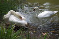 Nestling Swans Royalty Free Stock Photo