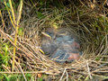 Nestlings of tree pipit Stock Photography