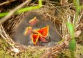 Nestlings of a tree pipit Stock Photos