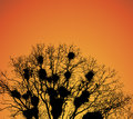 Nests of rooks on the tree branches at sunset.