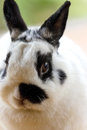 Netherland dwarf rabbit view of close up white black Stock Photography