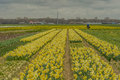 The netherlands egmond aan zee traditional dutch spring landscape a senior man biking through a field with flowering yellow Stock Photo