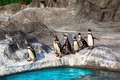 Nette humboldt pinguine spheniscus humboldt in einem zoo japan Stockbild