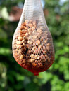 Netted nut bird feeder a nuts hanging in the garden Stock Photography