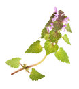 Nettle with flowers isolated on white background Royalty Free Stock Images