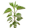 Nettle Royalty Free Stock Photo