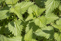 Nettle garden closeup of plant ready for harvest Royalty Free Stock Photography