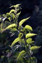 Nettle in nature with sun Urtica dioica in forest france
