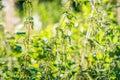 Nettle plants in wild nature