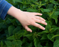Nettle sting a skin Royalty Free Stock Photo
