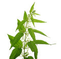 Nettle on a white background Stock Image