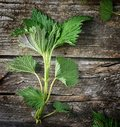 Nettle wilde green on the woob backgrownd Royalty Free Stock Images