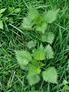 Nettles urtica dioica also known as stinging nettle Stock Images