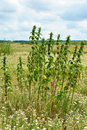 Nettles on waste ground huge size nettle the sky background Royalty Free Stock Photos