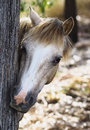 Neugierige pony hiding hinter einem baum Lizenzfreies Stockfoto