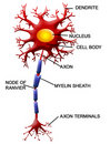 Neuron cell Stock Photo