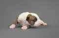 New bord bull terrier dog who is just one week old Royalty Free Stock Photo