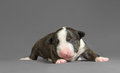 New bord bull terrier dog who is just one week old Stock Photos