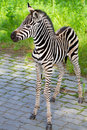 New born baby zebra Royalty Free Stock Images